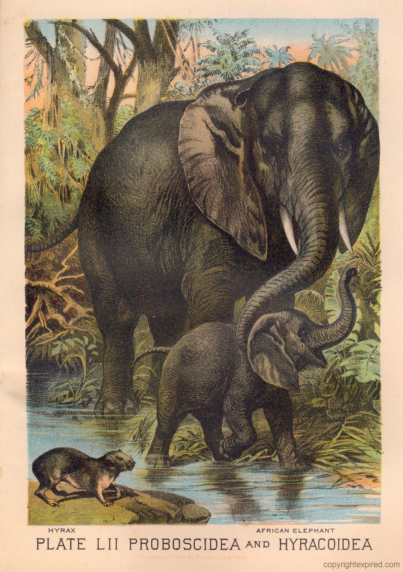 Hyrax elephant