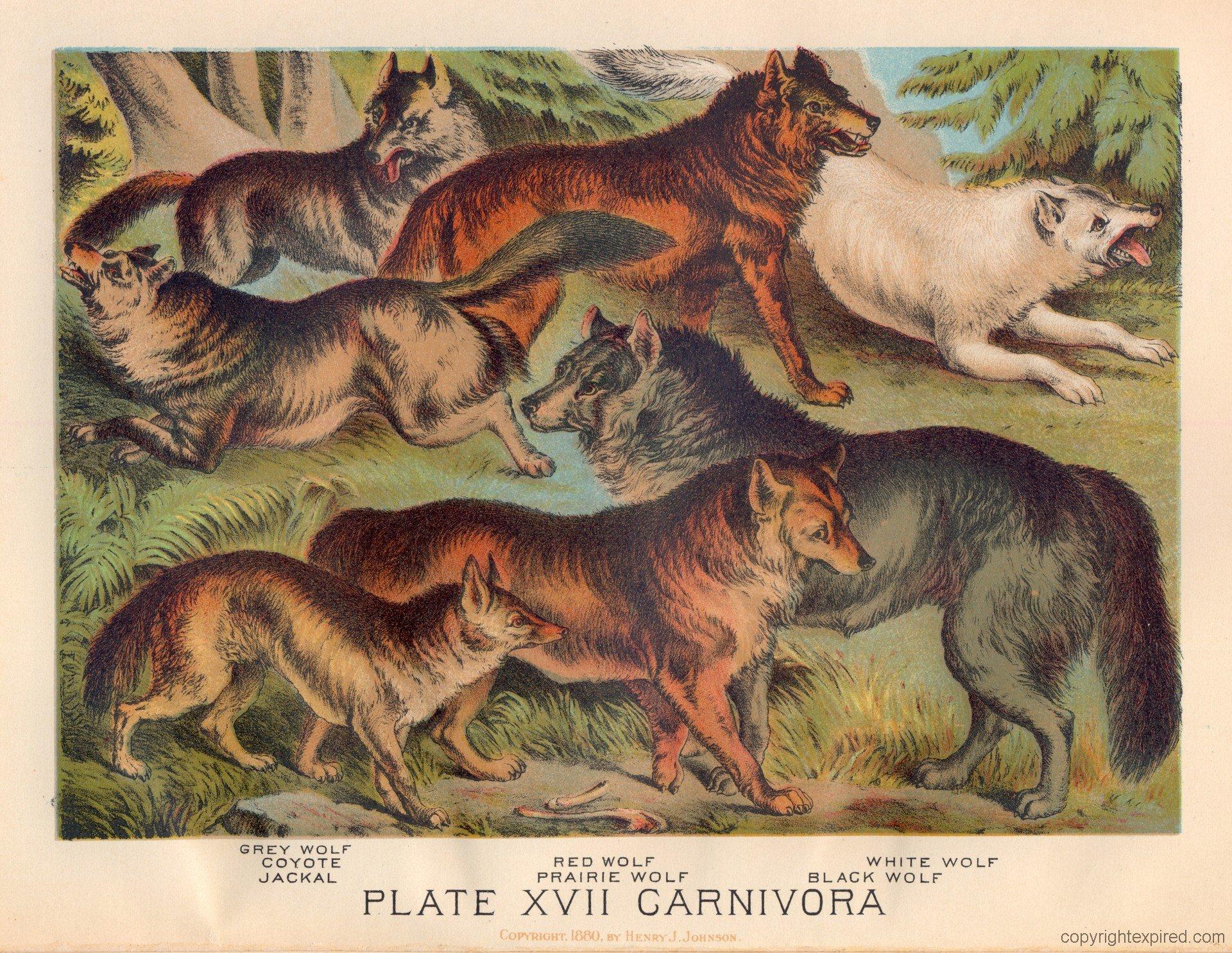 animal kingdom wolf coyote jackal orangutan and the hound national geographic