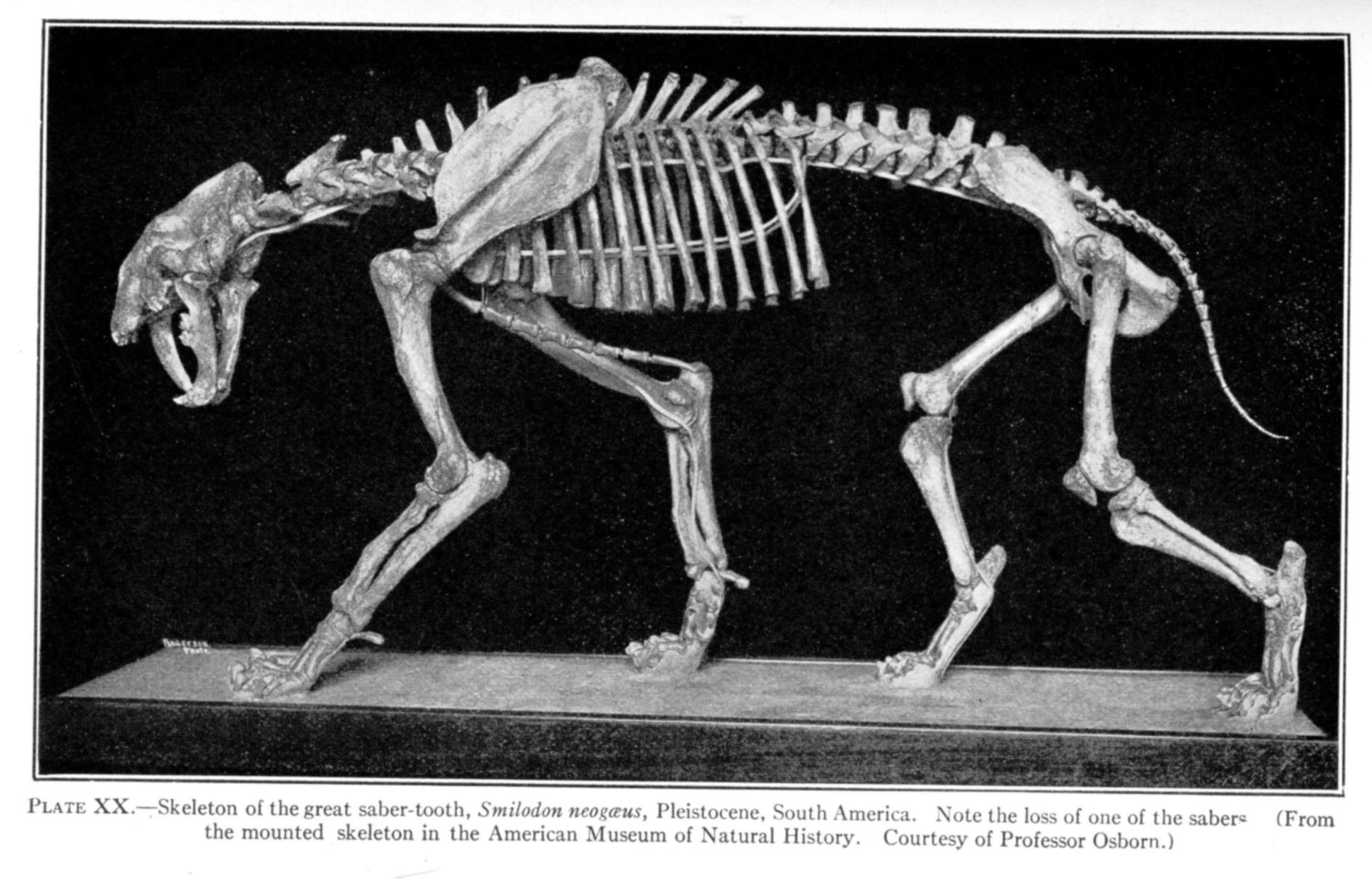 http://www.copyrightexpired.com/earlyimage/bones/large/large_lull_smilodon.jpg