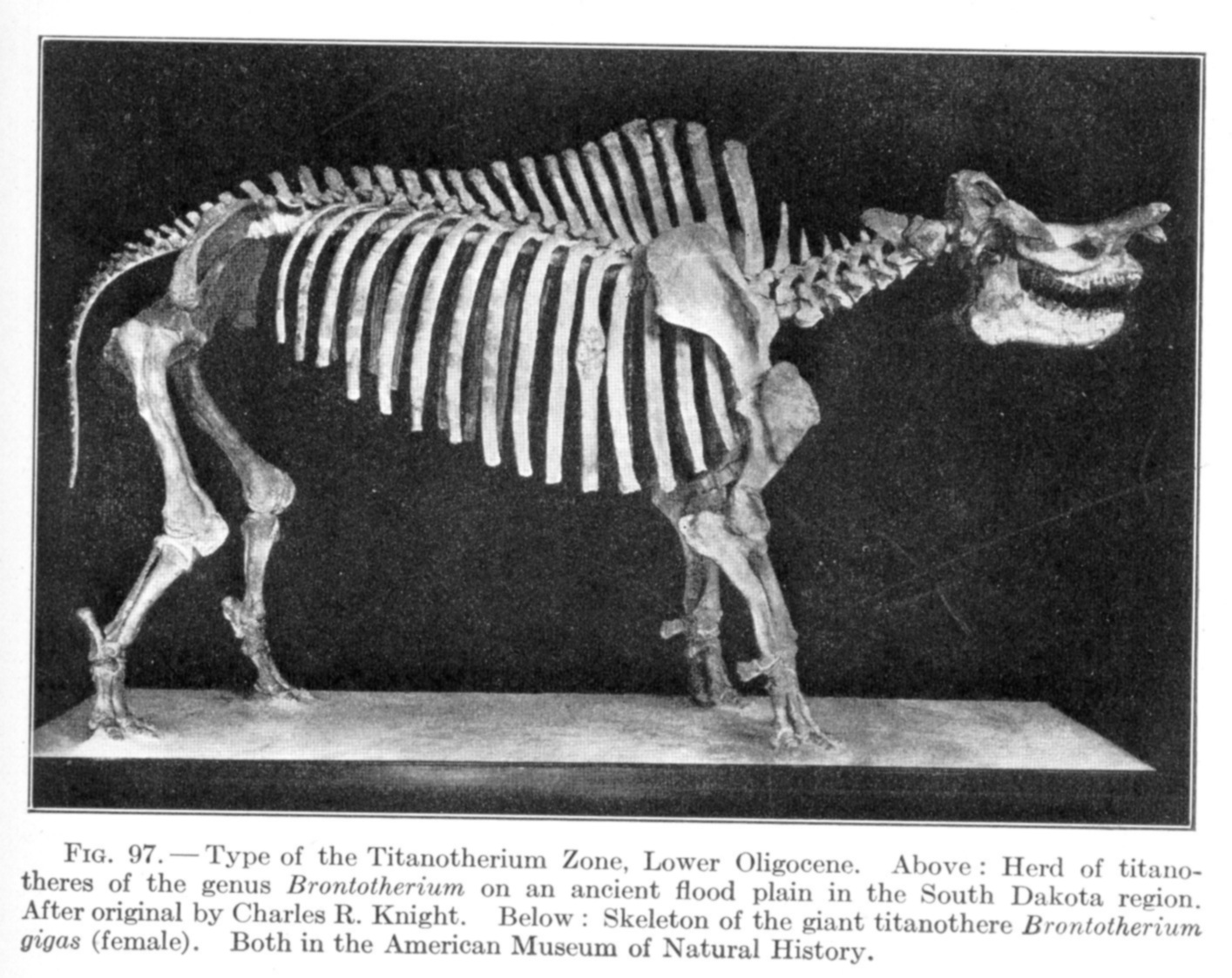 http://www.copyrightexpired.com/earlyimage/bones/large/large_osborn_brontotherium.jpg