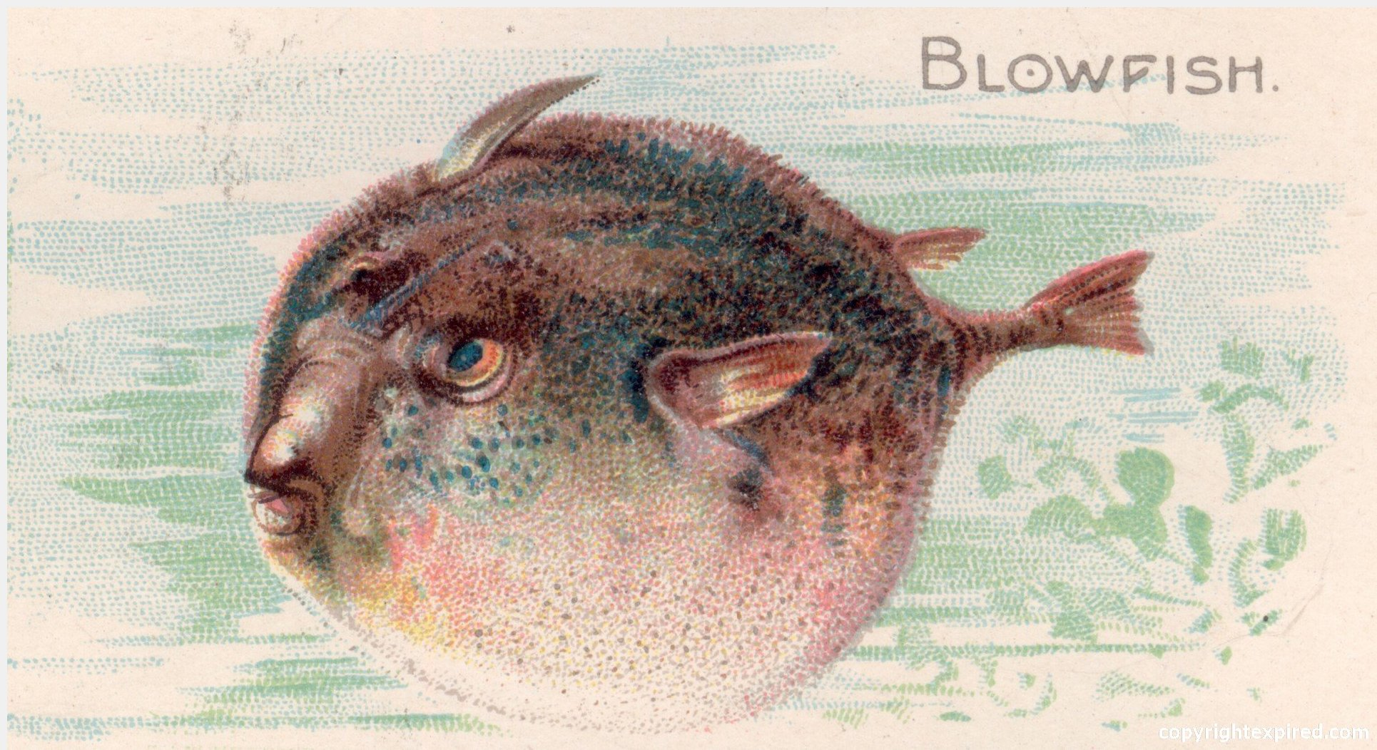 ... Fish Illustrations for Crafts, School, Brochures, Clip Art - Blowfish