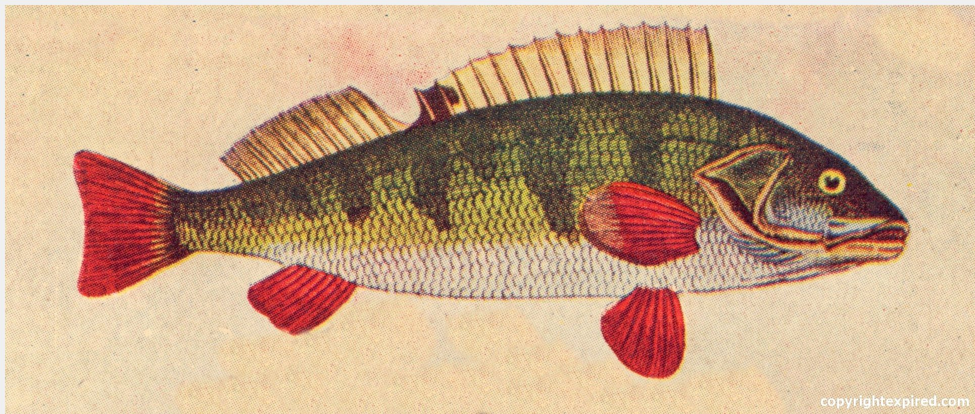 ... Illustrations for Crafts, School, Brochures, Clip Art - Common Perch