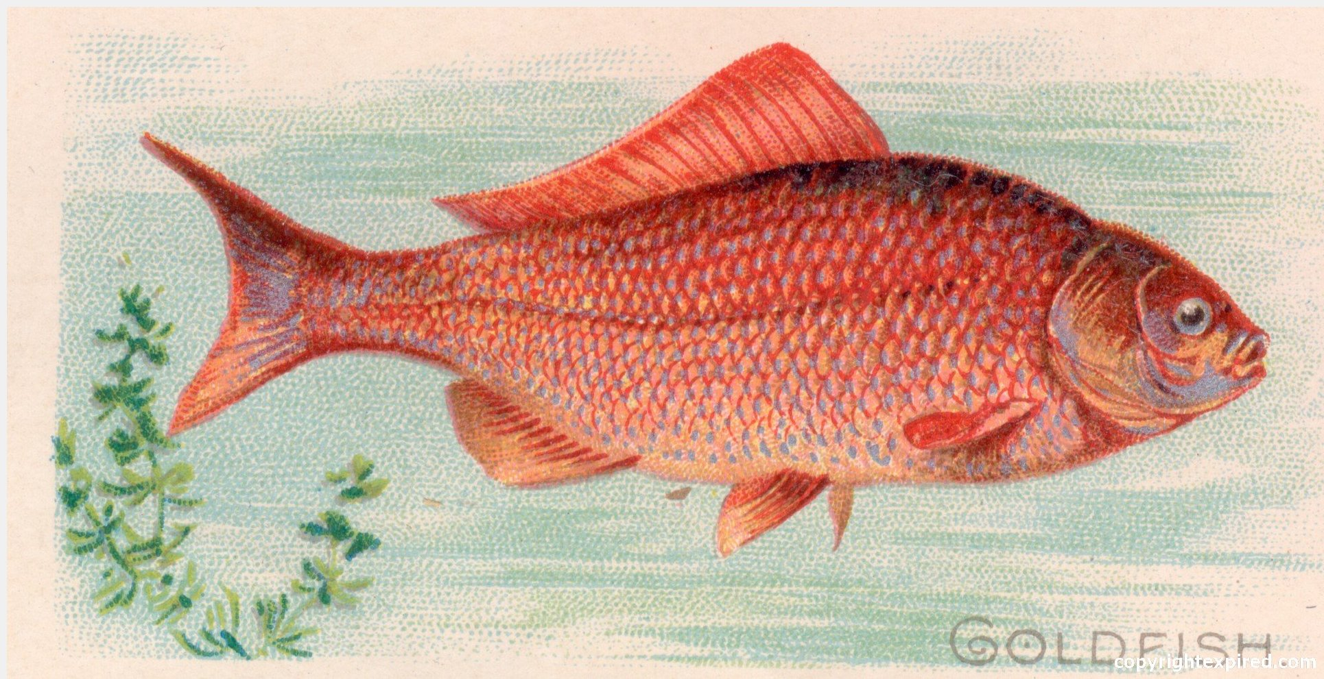 Rainbow Trout Cartoon Clip Art Antique fish illustrations for
