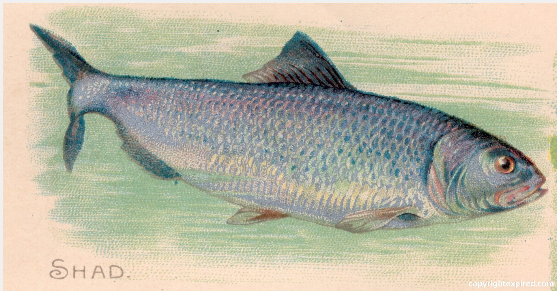 ... Fish Illustrations for Crafts, School, Brochures, Clip Art - Shad