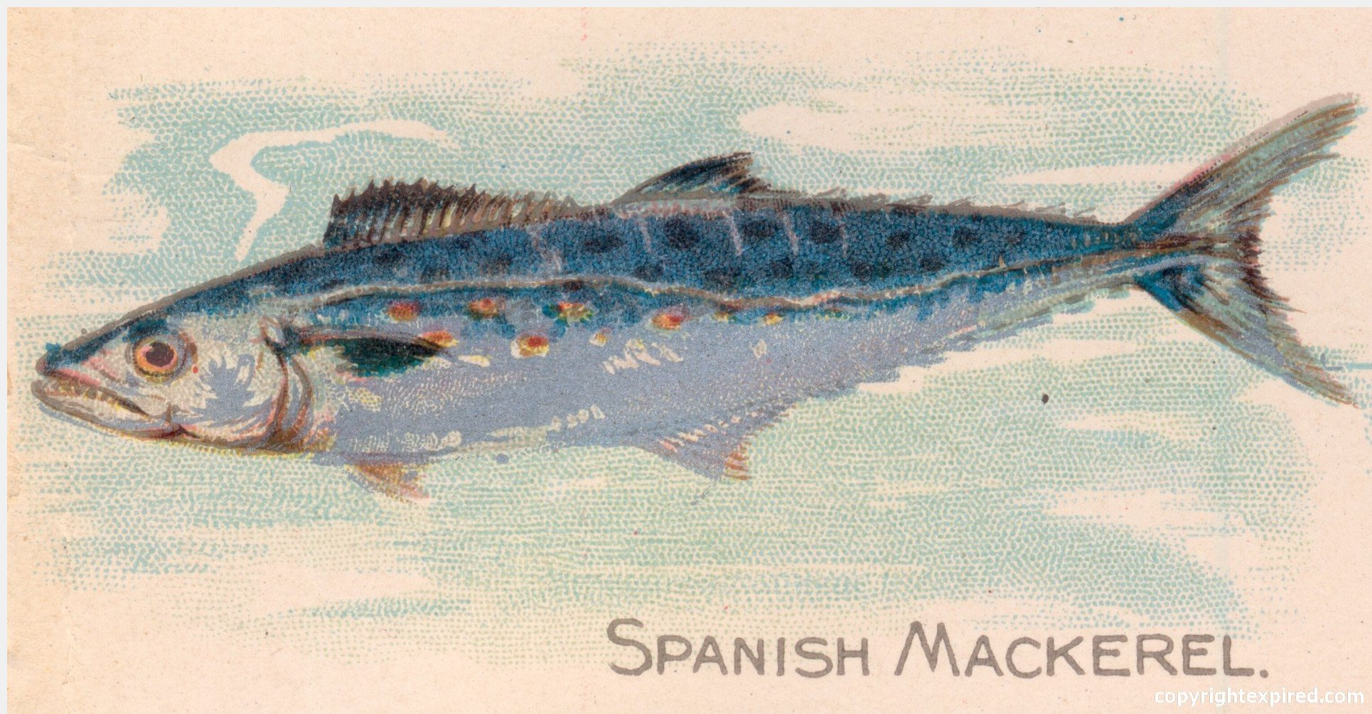 ... for Crafts, School, Brochures, Clip Art - Spanish Mackerel