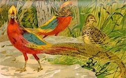 Golden Pheasants